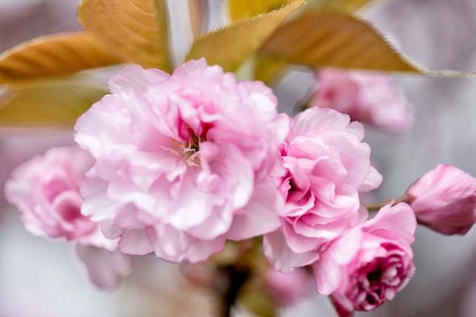 washington dc cherry blossoms april 12 2021 05 cherryblossomwatch com 678x452 - Cherry Blossom Watch Update / Kwanzan Edition: April 12, 2021