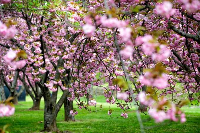 washington dc cherry blossoms april 12 2021 06 cherryblossomwatch com 678x452 - About the Kwanzan Cherry Blossoms