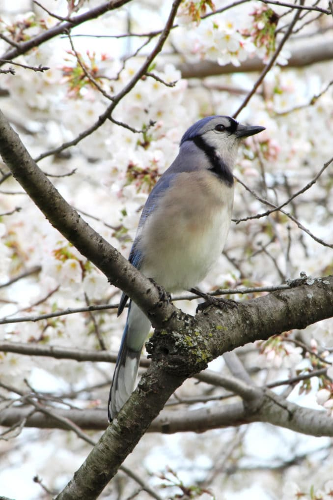 washington dc cherry blossoms march 27 2021 02 cherryblossomwatch com 678x1017 - Reader Photos 2021 | Part 1