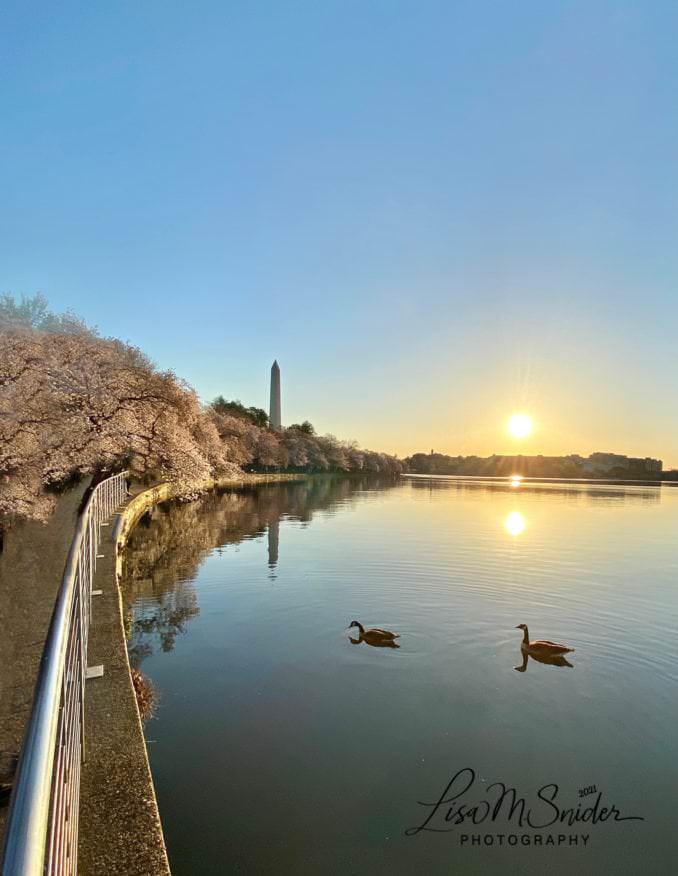 washington dc cherry blossoms march 27 2021 04 cherryblossomwatch com 678x876 - Reader Photos 2021 | Part 1