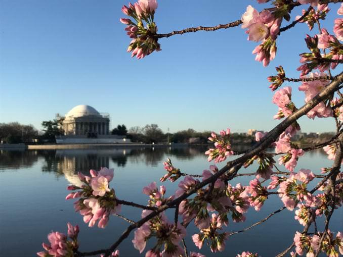 washington dc cherry blossoms march 27 2021 05 cherryblossomwatch com 678x509 - Reader Photos 2021 | Part 1