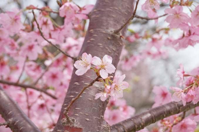 washington dc cherry blossoms march 27 2021 06 cherryblossomwatch com 678x452 - Reader Photos 2021 | Part 1