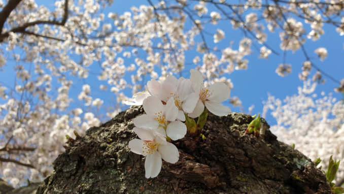 washington dc cherry blossoms march 27 2021 07 cherryblossomwatch com 678x382 - Reader Photos 2021 | Part 1