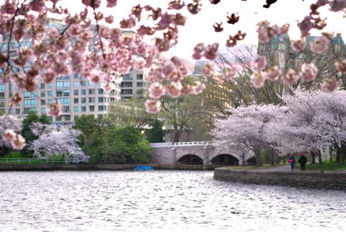 washington dc cherry blossoms march 28 2021 10 cherryblossomwatch com 678x454 - Reader Photos 2021 | Part 1