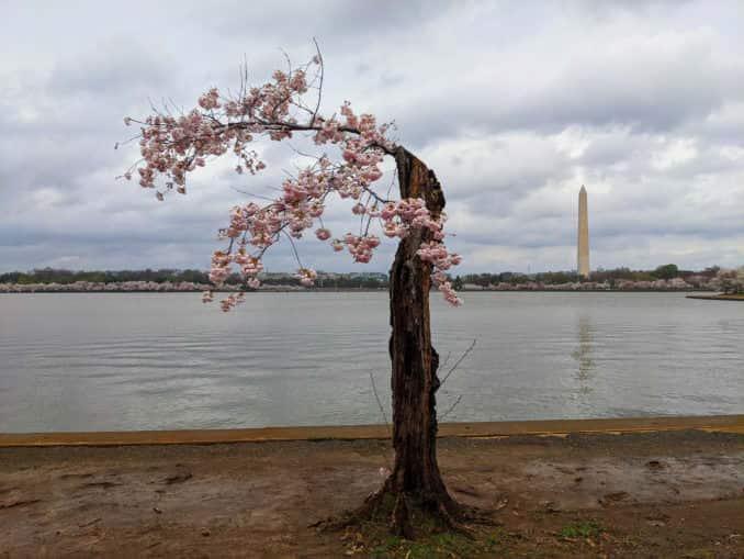washington dc cherry blossoms march 28 2021 11 cherryblossomwatch com 678x509 - Reader Photos 2021 | Part 1