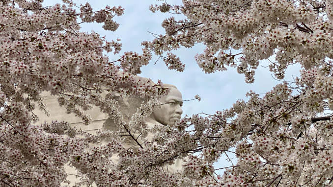 washington dc cherry blossoms march 28 2021 12 cherryblossomwatch com 678x382 - Reader Photos 2021 | Part 1