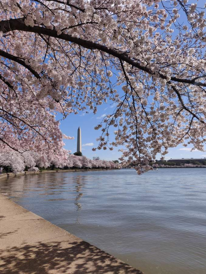 washington dc cherry blossoms march 29 2021 13 cherryblossomwatch com 678x904 - Reader Photos 2021 | Part 1