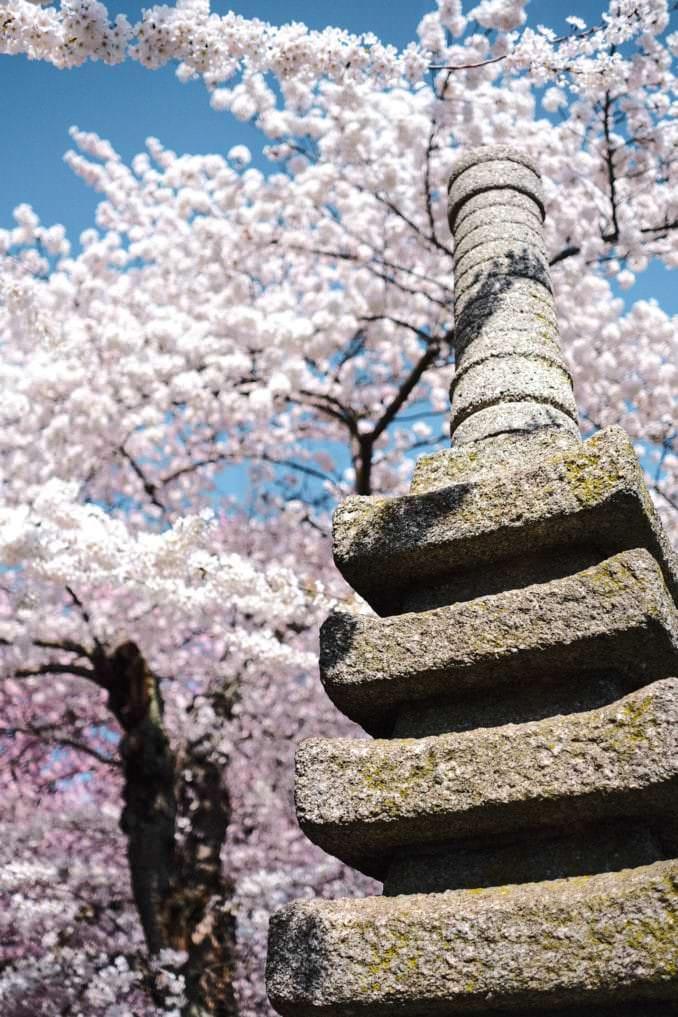 washington dc cherry blossoms march 29 2021 14 cherryblossomwatch com 678x1017 - Reader Photos 2021 | Part 1