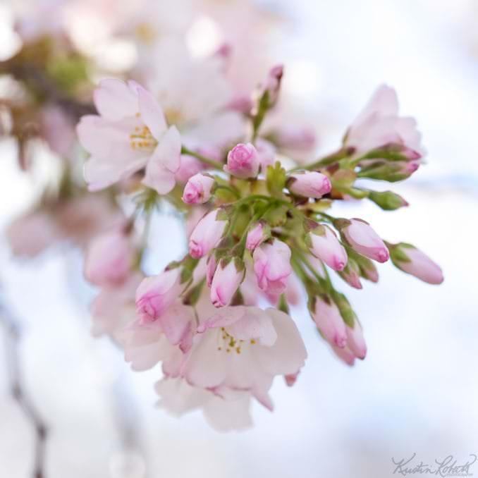 washington dc cherry blossoms march 29 2021 16 cherryblossomwatch com 678x678 - Reader Photos 2021 | Part 1