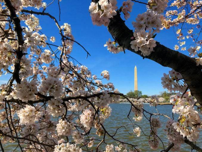 washington dc cherry blossoms march 29 2021 17 cherryblossomwatch com 678x509 - Reader Photos 2021 | Part 1