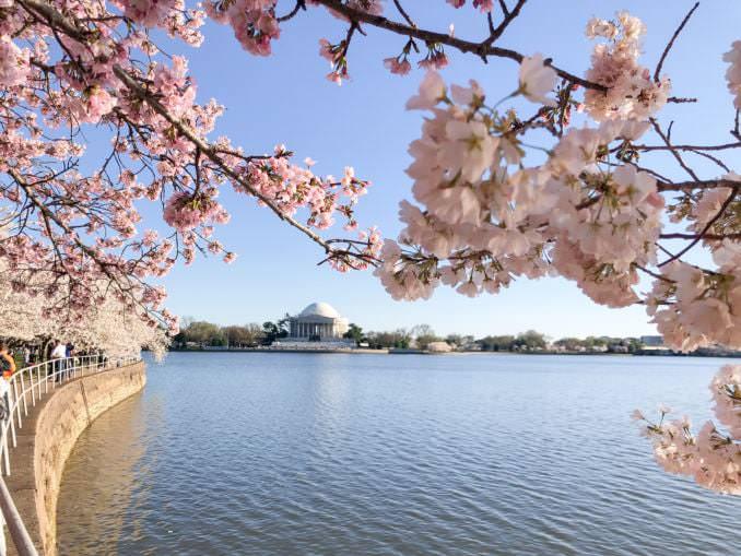 washington dc cherry blossoms march 29 2021 18 cherryblossomwatch com 678x509 - Reader Photos 2021 | Part 1