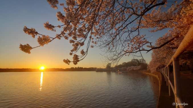 washington dc cherry blossoms march 29 2021 19 cherryblossomwatch com 678x382 - Reader Photos 2021 | Part 1