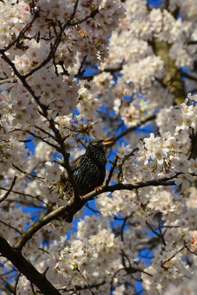 washington dc cherry blossoms march 30 2021 22 cherryblossomwatch com 678x1016 - Reader Photos 2021 | Part 1