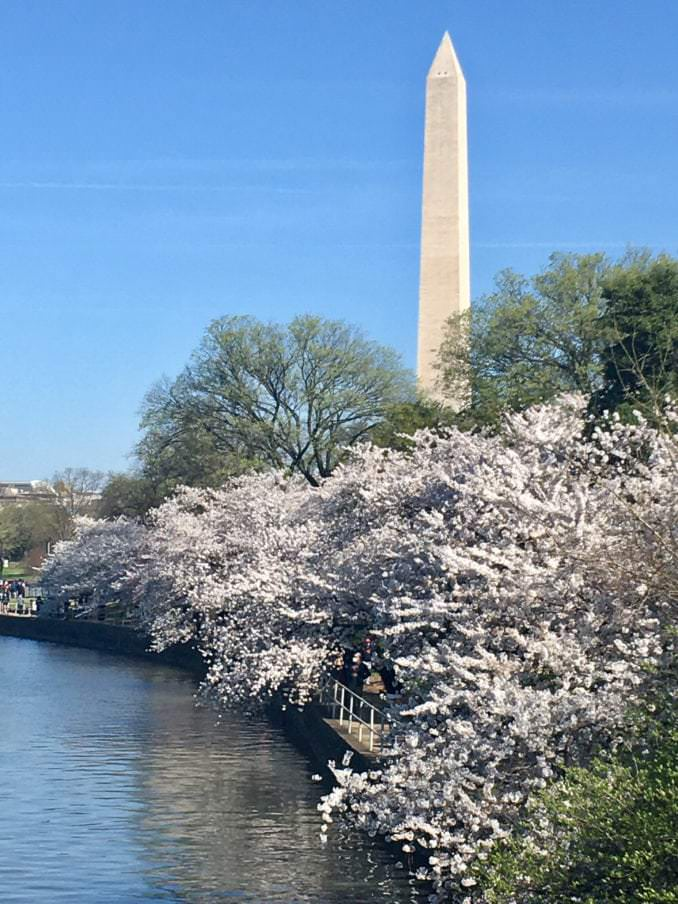 washington dc cherry blossoms march 30 2021 23 cherryblossomwatch com 678x904 - Reader Photos 2021 | Part 1