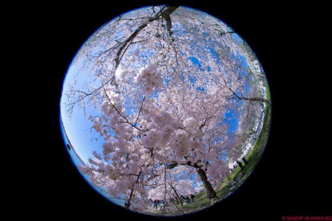 washington dc cherry blossoms march 30 2021 25 cherryblossomwatch com 678x452 - Reader Photos 2021 | Part 1