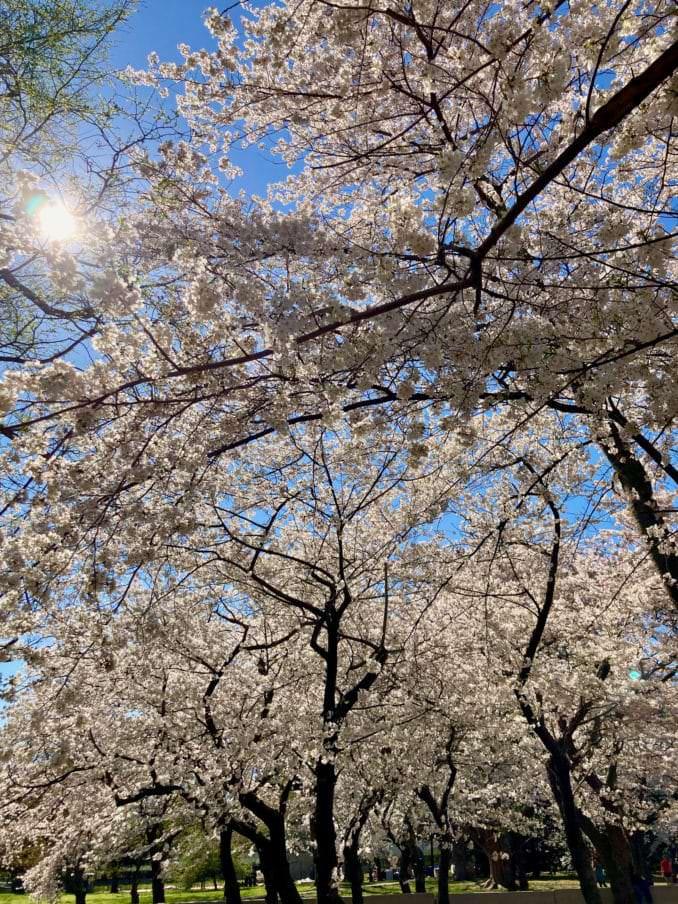 washington dc cherry blossoms march 30 2021 26 cherryblossomwatch com 678x904 - Reader Photos 2021 | Part 1