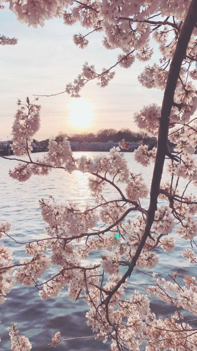 washington dc cherry blossoms march 30 2021 28 cherryblossomwatch com 678x1205 - Reader Photos 2021 | Part 1